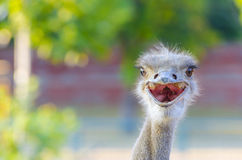 Ostrich head Royalty Free Stock Photography