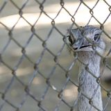 Ostrich head closeup Royalty Free Stock Photo