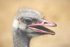 Ostrich head closeup Royalty Free Stock Photos