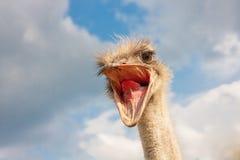 Ostrich head closeup Stock Image