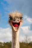 Ostrich head closeup Royalty Free Stock Photo