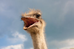 Ostrich head closeup Royalty Free Stock Photography