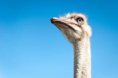 Ostrich head closeup outdoors Stock Photos