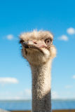Ostrich head closeup outdoors Stock Photography