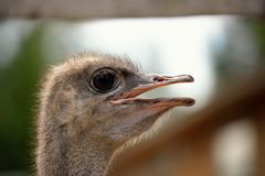 Ostrich head closeup Stock Photography