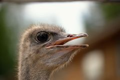 Ostrich head closeup Royalty Free Stock Images
