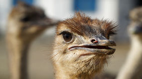 Ostrich head closeup. Stock Photography