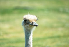 Ostrich head. Closeup portrait of an Ostrich royalty free stock photo
