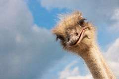 Ostrich head closeup. On sky background outdoors Stock Images