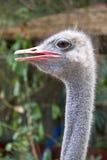 Ostrich head closeup Stock Photography