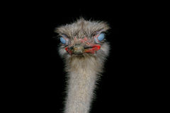 Ostrich head in the dark Stock Photography