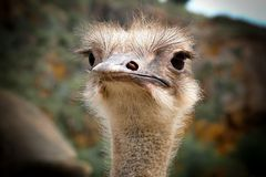 Ostrich head. Detail and close-up of ostrich head (Struthio camelus stock photo