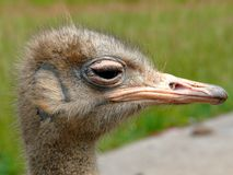 Ostrich head. Detail and close-up of ostrich head (Struthio camelus stock photos