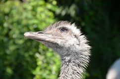 Ostrich head detail photo Stock Photo