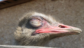 Ostrich head with eyes closed. Close-up of a ostrich head with its eyes closed (Struthio camelus Stock Photography