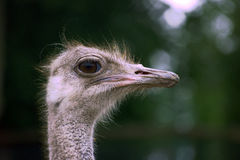 Ostrich head on farm Royalty Free Stock Image