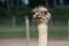 Ostrich head. Ostrich on the field head close up stock photography