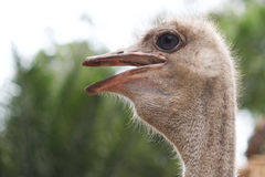 Ostrich head Stock Images