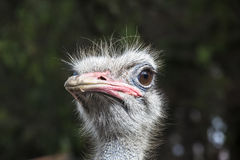 Ostrich head Stock Photos