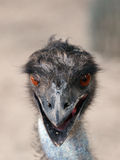 Ostrich head full face Royalty Free Stock Photos