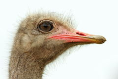 Ostrich head isolated side on Stock Photography