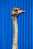 Ostrich head and long neck Stock Photo