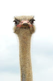 Ostrich head. Ostrich looking at you with an angry look in his eye Royalty Free Stock Image