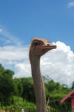 Ostrich head and nature Stock Images