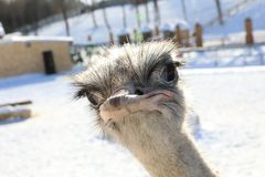 Ostrich head and neck front portrait Stock Images