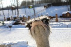 Ostrich head and neck front portrait Royalty Free Stock Images