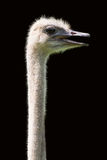 Ostrich head and neck only. Isolated on black background Royalty Free Stock Image