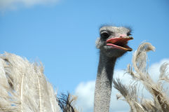 Ostrich. Head with open beak close up on blue sky with white clouds as back ground Stock Images