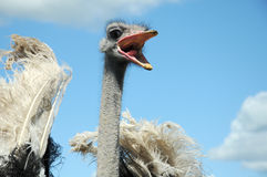 Ostrich. Head with open beak close up on blue sky with white clouds as back ground Royalty Free Stock Image