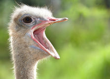 Ostrich head with open mouth. Green background Royalty Free Stock Image