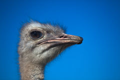 Ostrich Head Portrait. And its fine feather, hair and eye details in the  morning on a clear blue day Stock Photography