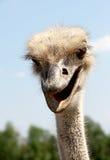 Ostrich head portrait. Bird's farm. Royalty Free Stock Images