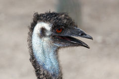 Ostrich head in profile Stock Photos