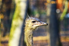Ostrich head shot Stock Images