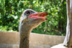 Ostrich head shot Stock Photography