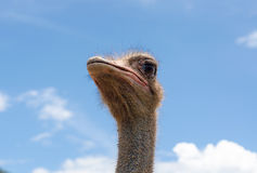 Ostrich head and sky Royalty Free Stock Photo