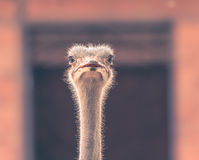 Ostrich Head in Square frame- Samut Prakan, Thailand Stock Photos