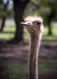 Ostrich head. Ostrich walking freely in natural park Stock Images