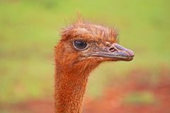 Ostrich Head The Wary Eye. An ostrich looks on with caution as a pack of humans watch. This ostrich was found at Cayo Saetia National Park in Cuba and is Royalty Free Stock Photos