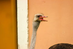 Ostrich head through the window. Ostrich head and neck through the window Royalty Free Stock Photography