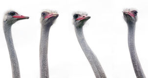 Ostrich heads Royalty Free Stock Photo