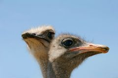 Ostrich heads Royalty Free Stock Image