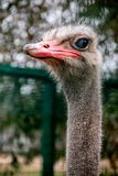 Ostrich headshot detail stock images
