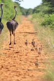 Ostrich hen and chicks - African Wildlife Background - Following Parents Royalty Free Stock Images
