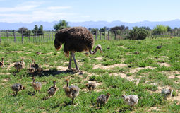 Ostrich with her chicks in the field Stock Photo