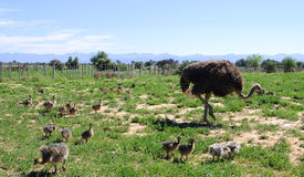 Ostrich with her chicks in the field Royalty Free Stock Image
